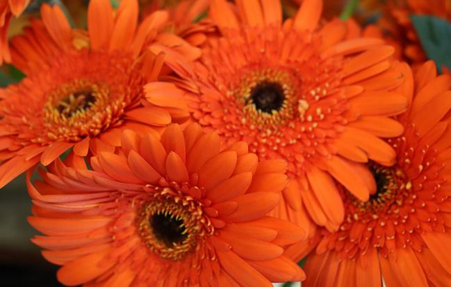 Gerbera - (c)Phoebus Communication