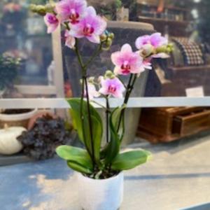 orchidée rose tachetée